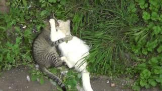 Коты дерутся  Смотреть всем!!!