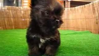 http://www.pets-hop.com ヨークシャテリアとチワワのミックス犬です。 ...