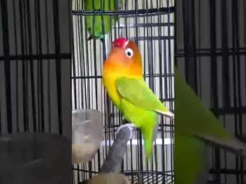 Love Bird Ngekek Durasi Panjang !!! Pemancing Love Bird