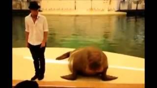 Приколы с животными, морж танцует