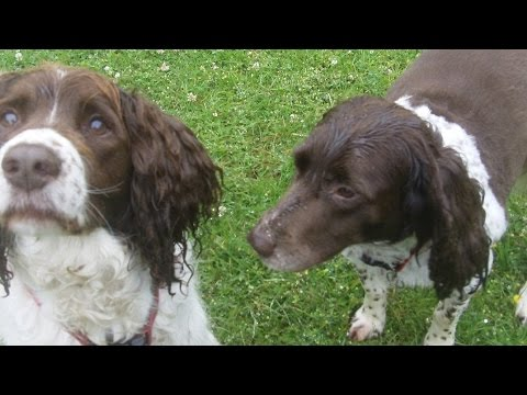 Springer Spaniel Arthur chasing swallows at A & B Dogs Boarding & Training Kennels.