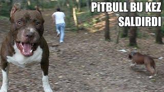 PİTBULL ATEŞİ KIŞKIRTIM ( Aşırı Derecede Sinirlendi ) Pitbull Eğitminde Son Nokta, aggressive dog