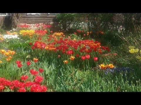 Попугайные и бахромчатые тюльпаны, черные тюльпаны.