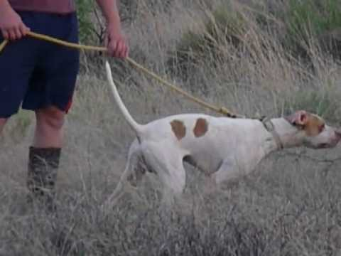 Elhew English Pointer 520-907-5690 Sunrise Kennels