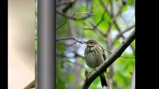 Голоса птиц -Лесной конек (Anthus trivialis)