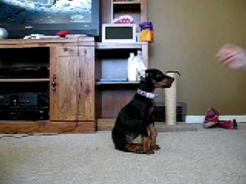8 week old Doberman learning sit and down