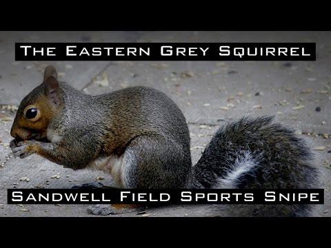 The Eastern Grey Squirrel in HD