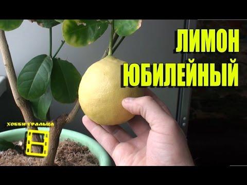 """Лимон """"Юбилейный"""" #Цитрусовые"""