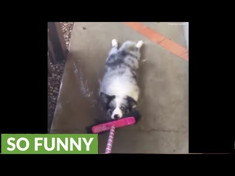 Crazy dog gets dragged through water holding on to broom
