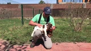 Первый тест щенка Английского Спрингер Спаниеля в 2 месяца