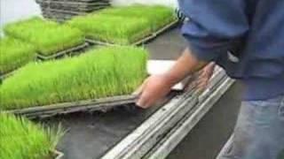 無農薬コシヒカリ田植え2008 thumbnail