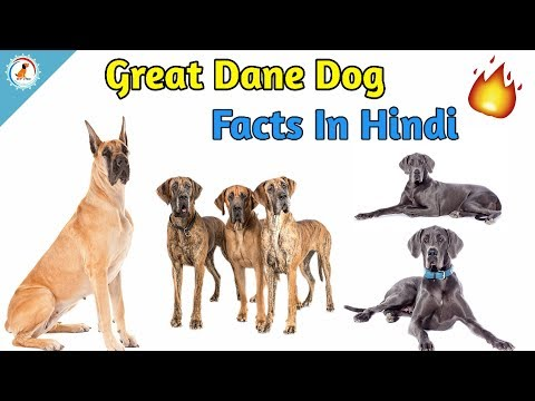 Great Dane Dog Facts In Hindi | Dog Facts | Great Dane - Ultimate Facts
