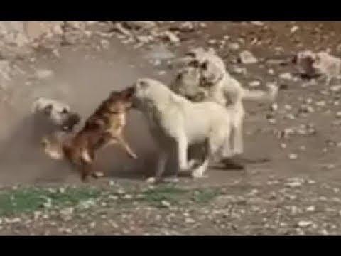 Маленькая собака спасает своего друга Кангал ─ LOL !!!