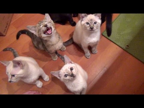 Feeding Foster Kittens Is Fun Noisy Work!