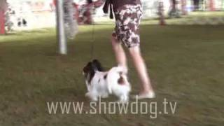 Show Dog - Papillon Kcgbh