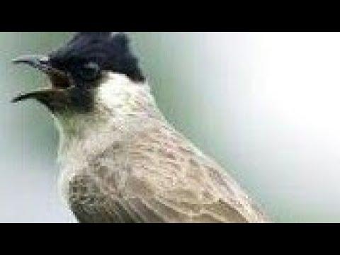 Burung kutilang gacor..pikat mantap terbaik saat ini