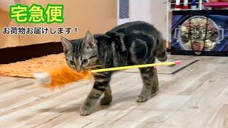 お気に入りの猫じゃらしを口に咥えてどこまでも運んでしまう子猫w