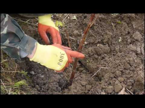 как посадить малину осенью  / how to plant raspberries in autumn