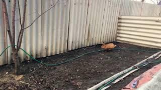 Калифорнийский кролик сбежал из клетки)