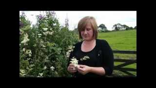 Meadowsweet, a favourite versatile herbal medicine, the original