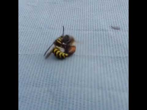 Brutel 🍯 honey bee 🐝 cutting a bee 🐝 into 2 half
