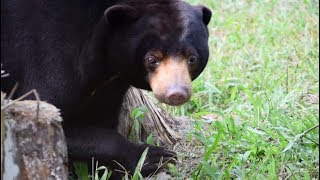 Young sun bear scarred by cruelty has learnt to let her heart run free
