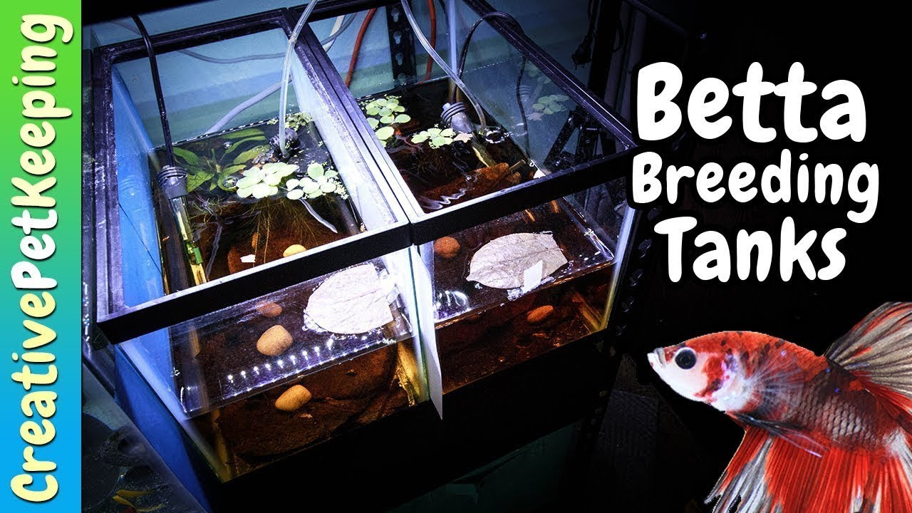 How To Set Up A Natural Betta Breeding Aquarium Betta Fish Spawning Tank Youtube
