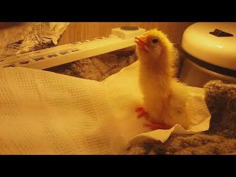Можно ли без инкубатора вывести цыплят? Можно ли помогать цыпленку?