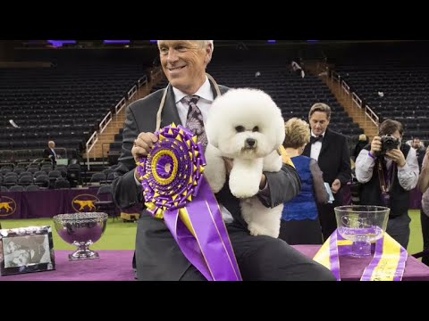 "Flynn the bichon frise wins ""Best in Show"" at 2018 Westminster Kennel Club Dog Show"