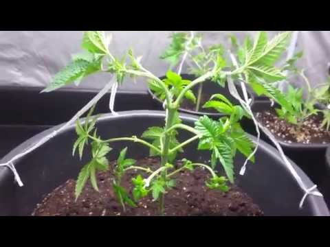 AMVgrow's Low Stress Training Cannabis 123 compilation how i LST