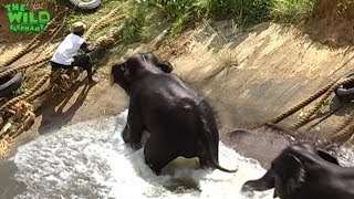 Two elephants saved from a canal, Thanks to kind people
