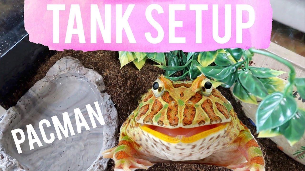 How To Setup Pacman Frog Tank Albino Horned Pacman Frog Tank Setup