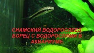 Сиамский Водорослеед САЕ. Аквариумная рыбка - борец с водорослями.