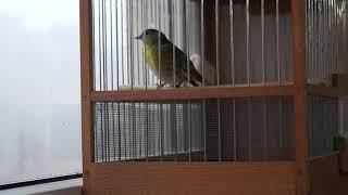 Птица чиж (Carduelis spinus)