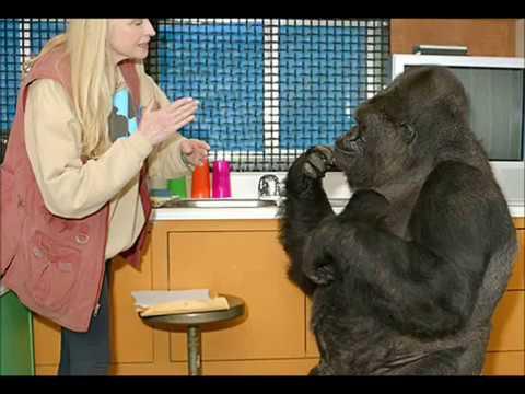 Вопрос: Знаменитая горилла Коко умерла Какая причина?