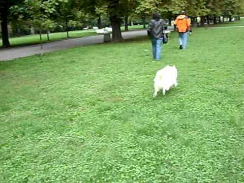 German Spitz - Mittel walk in park