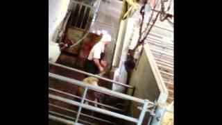 Hillside Slaughterhouse Investigation 2015