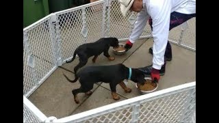 King Rottweiler Puppies Basic Training - Dog Whisperer BIG CHUCK MCBRIDE - SafeCalm