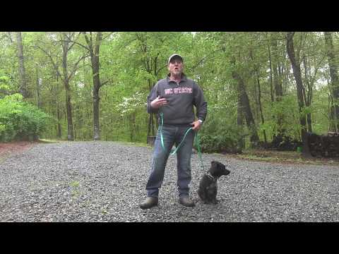 Corgi Mix Rescue Dog Training Winston Salem NC   Yoshi