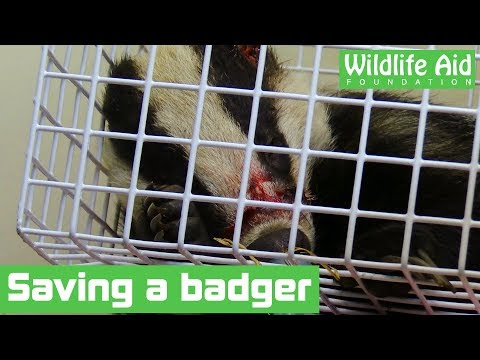 Injured badger gets a second chance at life