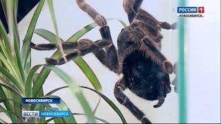 В Новосибирск привезли самых ядовитых пауков в мире