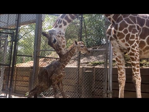 Riverbanks Zoo in Columbia, SC Welcomes Baby Girl Giraffe