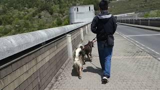 2019.04/28(日) @小里川ダム堤頂道路でパパひさびさ2頭引きにチャレン...