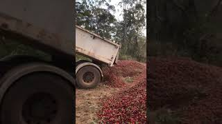 Strawberry Growers Dispose of Mountains of Fruit Amid Needle Contamination Saga