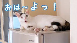 冷蔵庫の上に居座っててもたくさんお喋りする猫チロさん