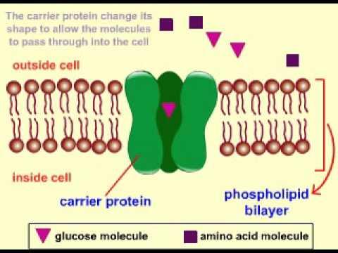 FACILITATED DIFFUSION.carrier protein.avi