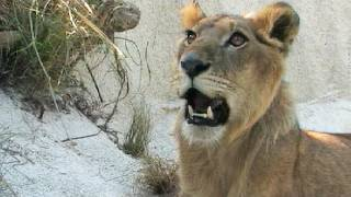 Lion vs Black Mamba 02, Time Lapse Speed x2