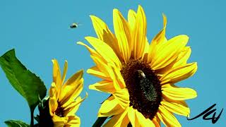 Do Bees Fight? (960 fps) Better believe It...    YouTube