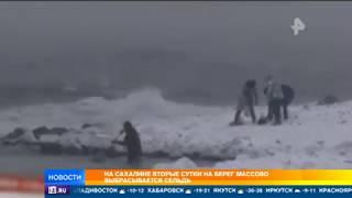 На Сахалине вторые сутки на берег массово выбрасывается сельдь