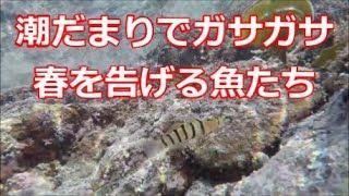 潮だまりでガサガサ【春を告げる魚たち】 thumbnail